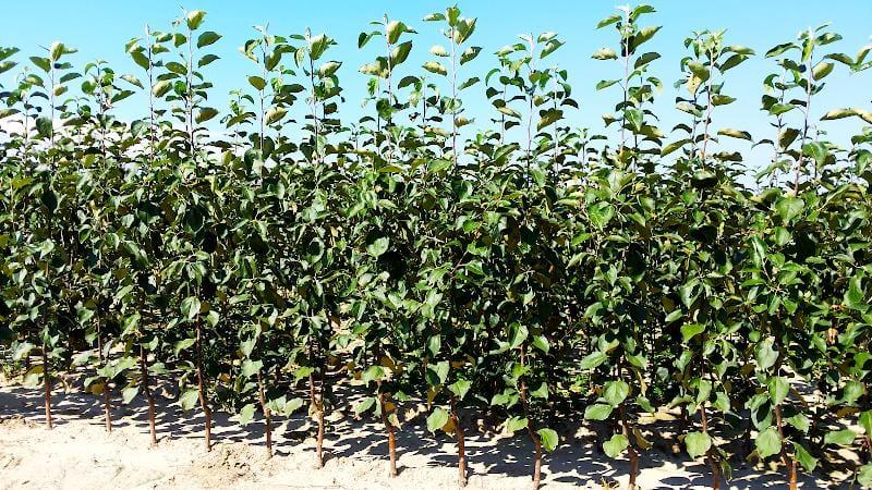 Drzewka owocowe - cena, odmiany, gatunki