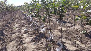 szczepienie drzewek owocowych