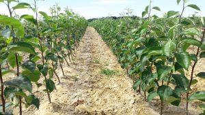 szkolka drzew jablonie