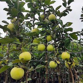 3 letnie drzewka owocowe w doniczkach