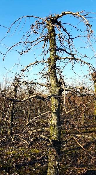 ciecie-starszych-drzew-gruszy