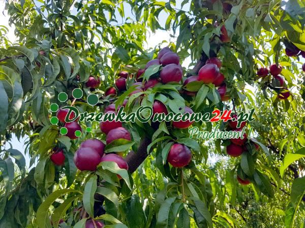 drzewka-owocowe-nektaryna-harco
