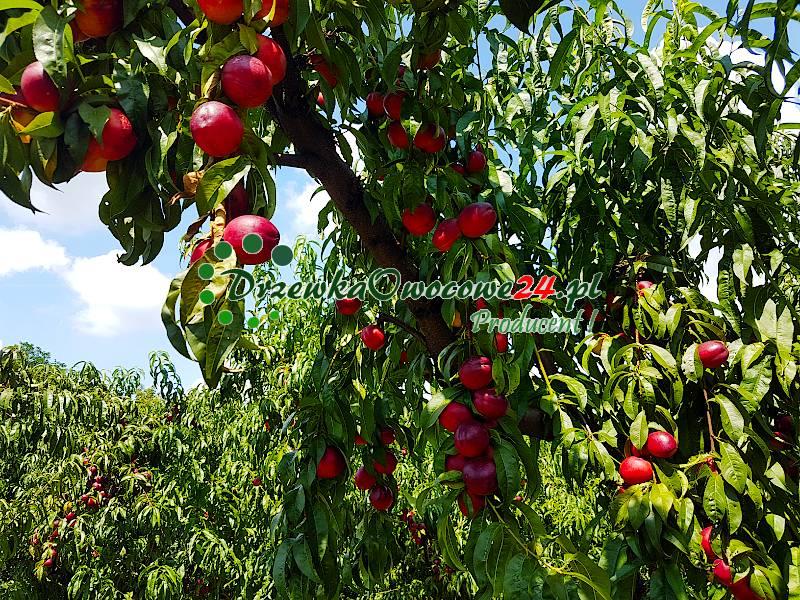 nektaryna-harco-sadzonki