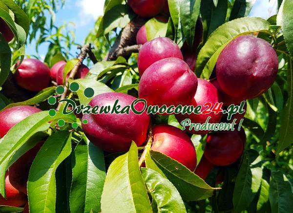 nektaryna-odmiana-harco