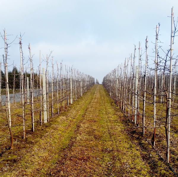 Cięcie jabłoni w sadzie towarowym