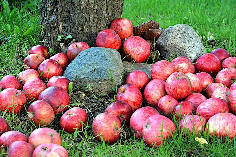 Cięcie jabłoni. Kiedy i jak przycinać jabłonie