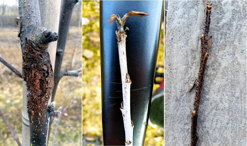 Cięcie jabłoni. Usuwanie pędów porażonych chorobami kory i drewna, mączniakiem, mszycą