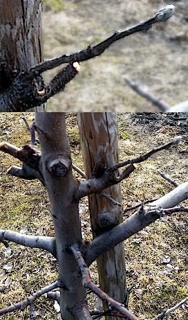 Owocujący krótkopęd wyrastający z czopa