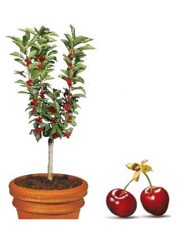 Mini Czereśnia Garden Bing