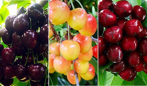 wieloodmianowe drzewka owocowe