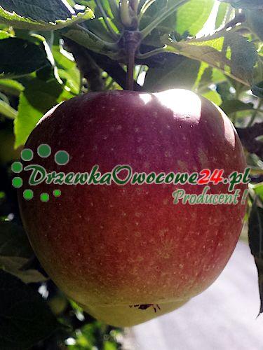 Jabłoń Wealthy