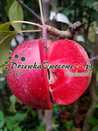 Jabłoń czerwonomiąższowa