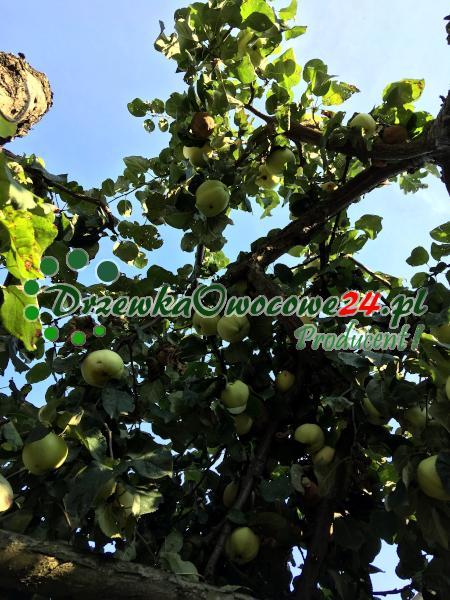 Jabłoń Półtorafuntowa - sadzonki