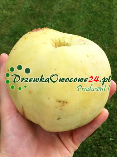 Jabłoń Półtorafuntowa (śmietankowa, masłowa)