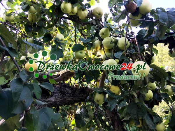Jabłoń Półtorafuntowa (śmietankowa)