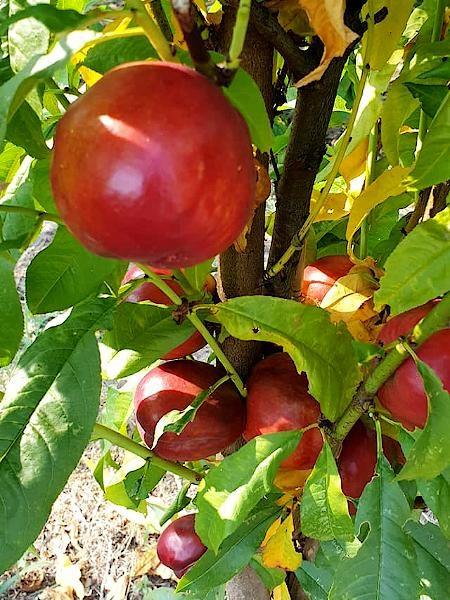 Nektaryna kolumnowa Alice - owoce