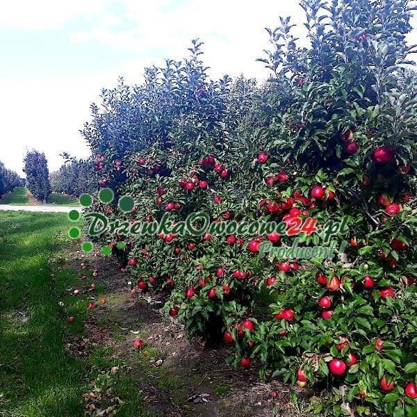 Jabłoń Ligol - sadzonki