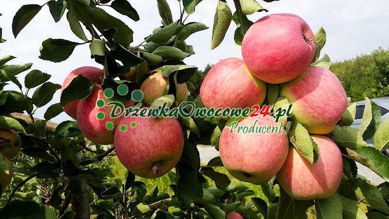 Jabłka odmiany Piros bezparchowe