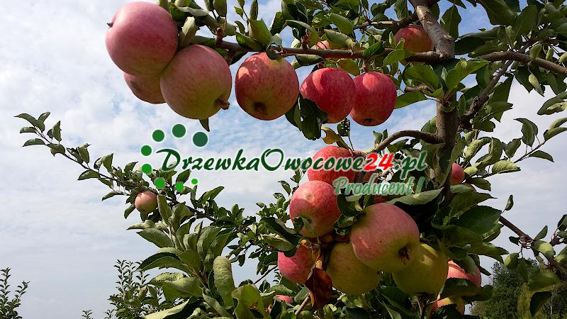 Jabłoń Piros - sadzonki