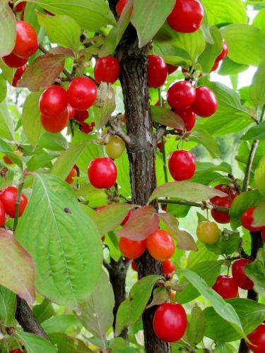 deren jadalny drzewko z owocami