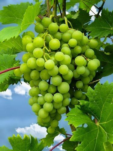 winogrono jasne Saint Pepin