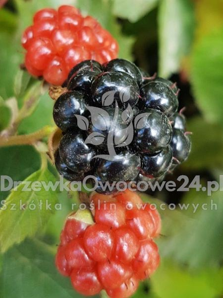 jeżyna thornless evergreen - sadzonki, cena