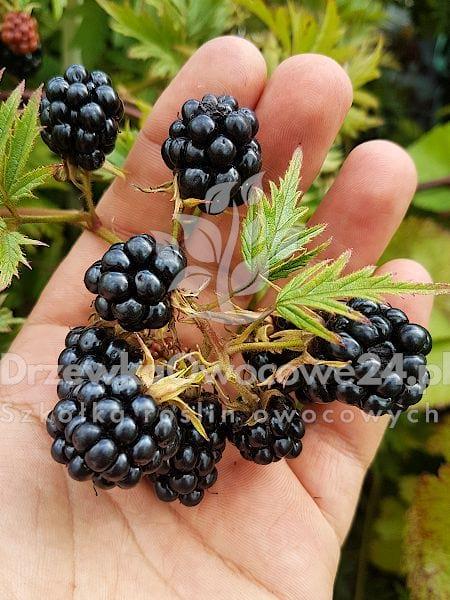 jeżyna thornless evergreen - owoce