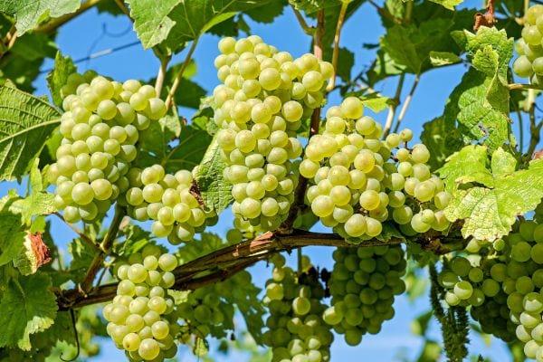 Winogrona - sadzonki winorośli
