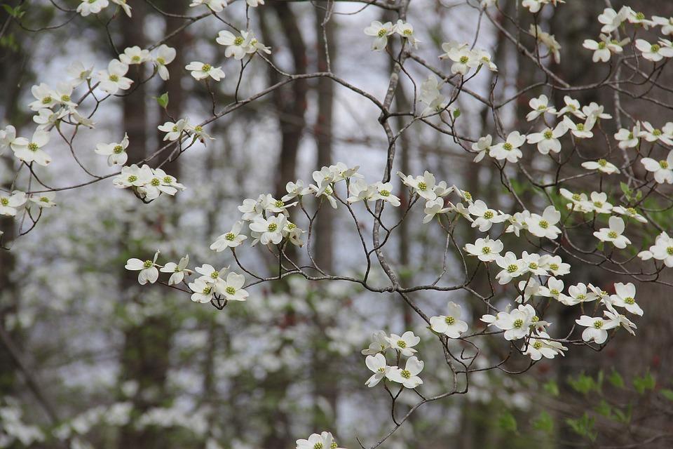 kwiaty derenia
