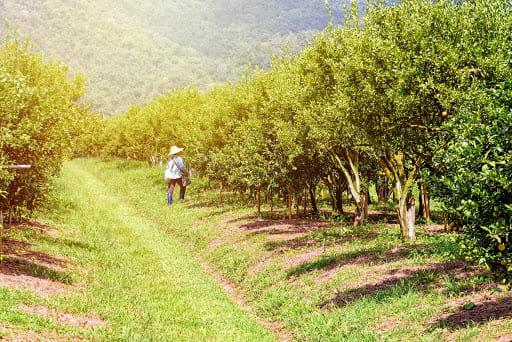 Zbiory w sadzie owocowym