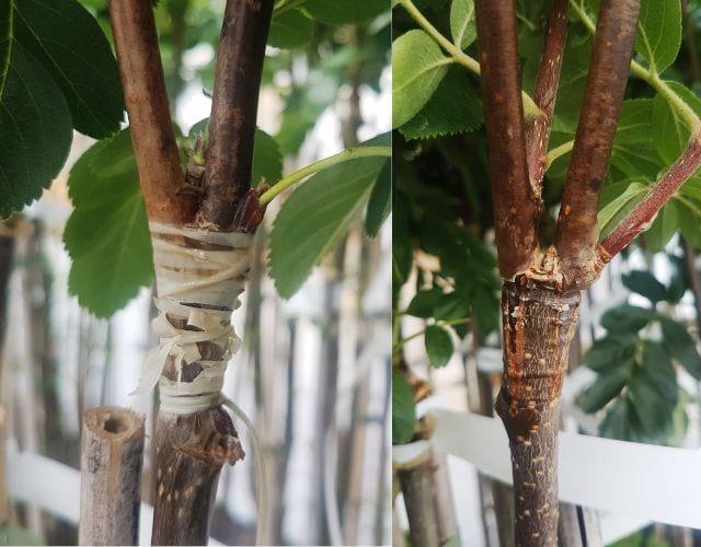 Szczepienie drzew owocowych – na czym polega, metody i sposoby rozmnażania