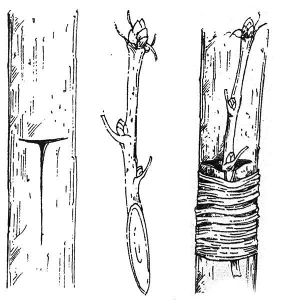 szczepienie na przystawkę boczną za korę