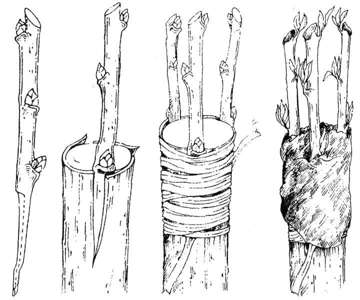 szczepienie za korę kożuchówka
