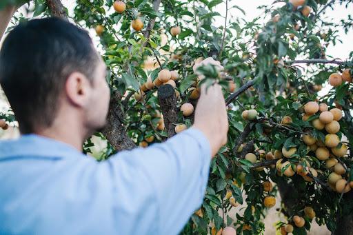 Ręczny Zbiór Owoców