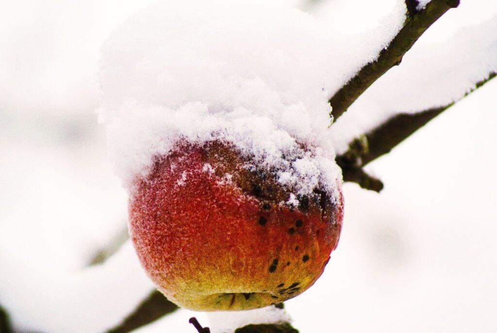 jabłko zimą
